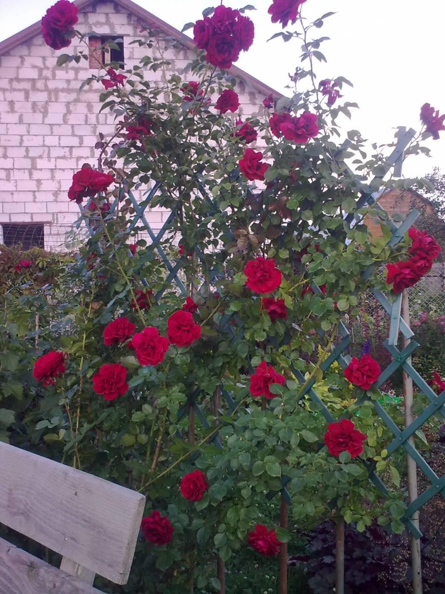 Выращивание плетистых роз из черенков 3