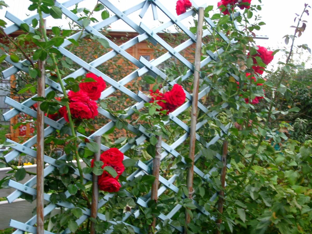 Когда зацветает плетистая роза 2