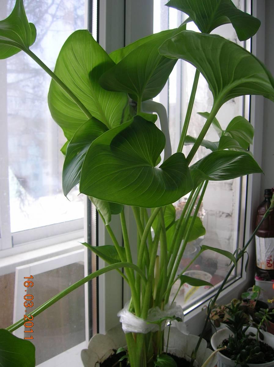 Фото цветка каллы комнатной