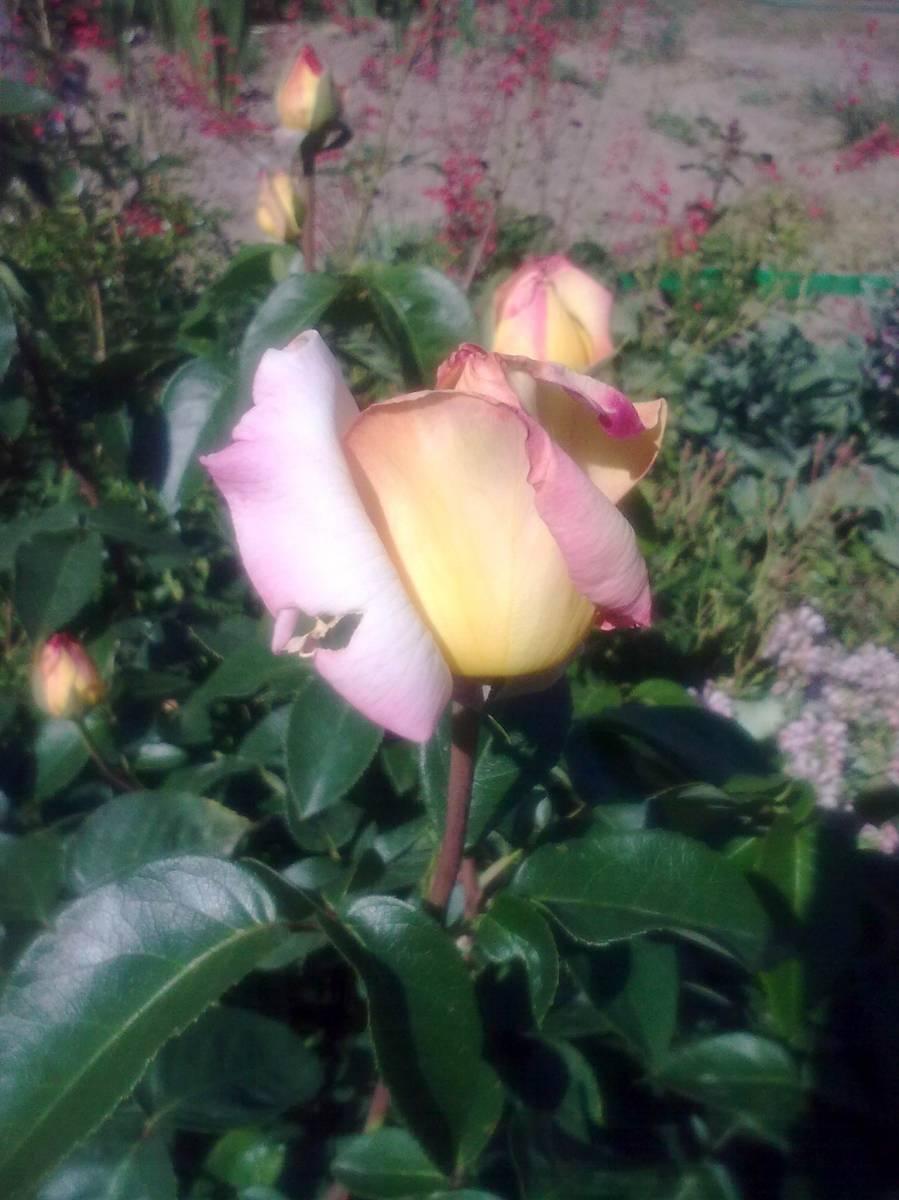 Плетистая роза глория 3