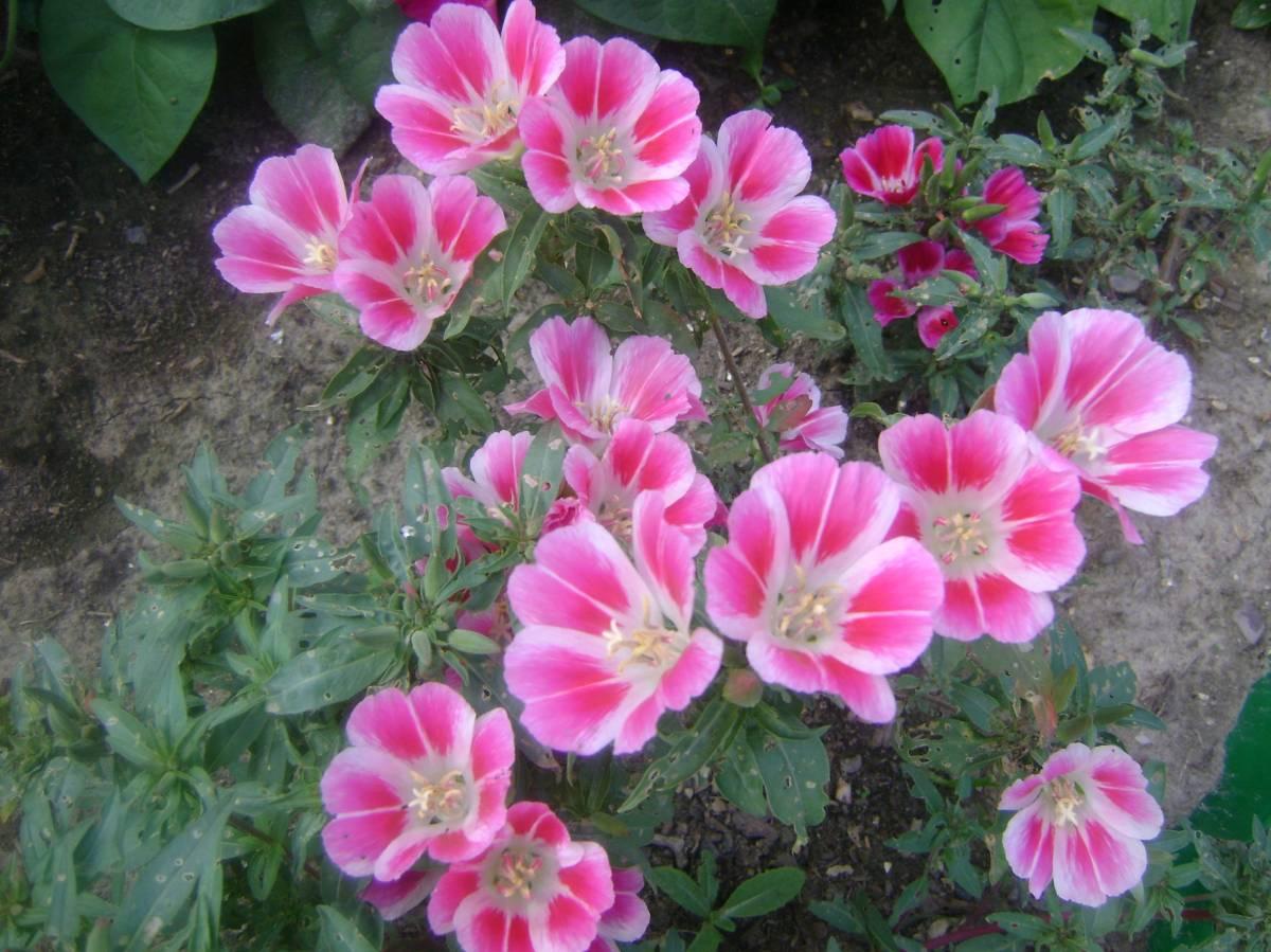 Посадка цветов под зиму - Сад и огород 87