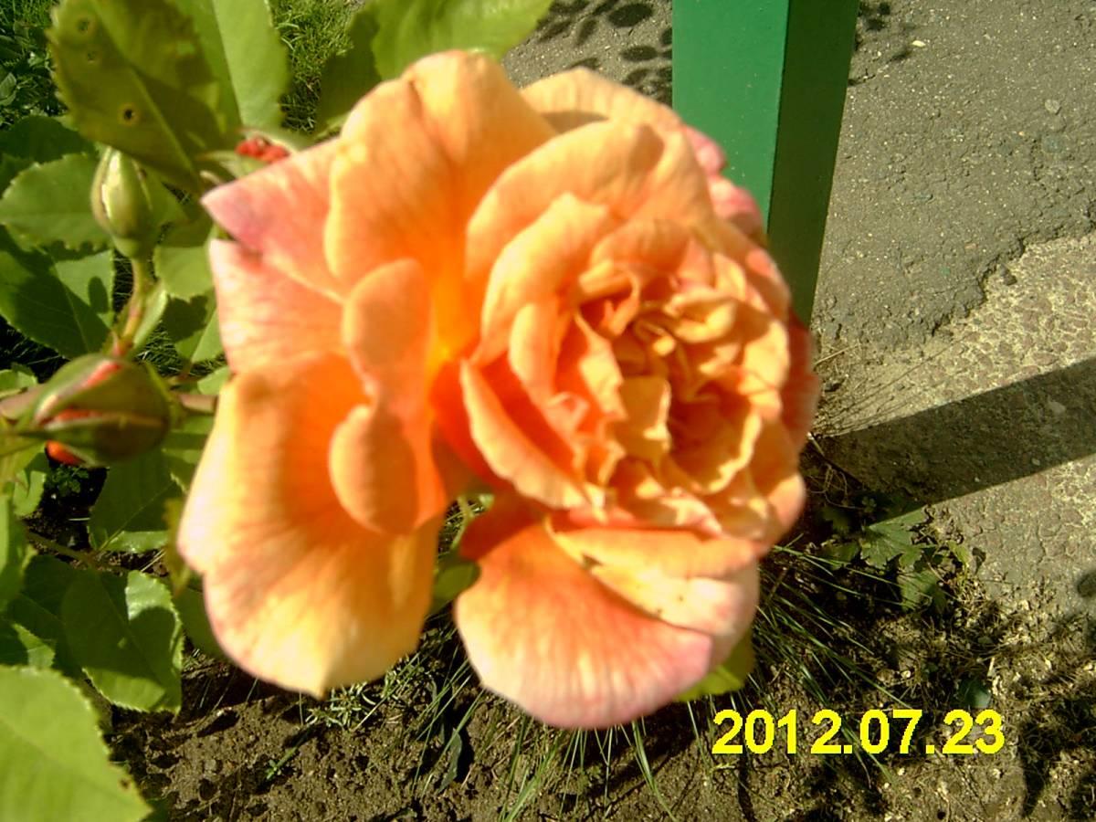 Когда зацветает плетистая роза 6